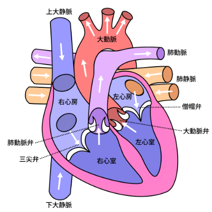 Diagram_of_the_human_heart_(cropped)_ja.jpg